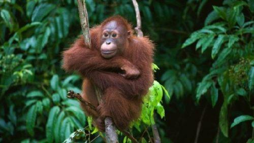 Orangutan in Kota Kinabalu